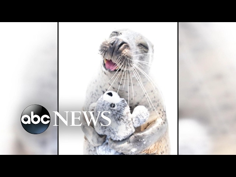 Seal falls in love with stuffed animal seal