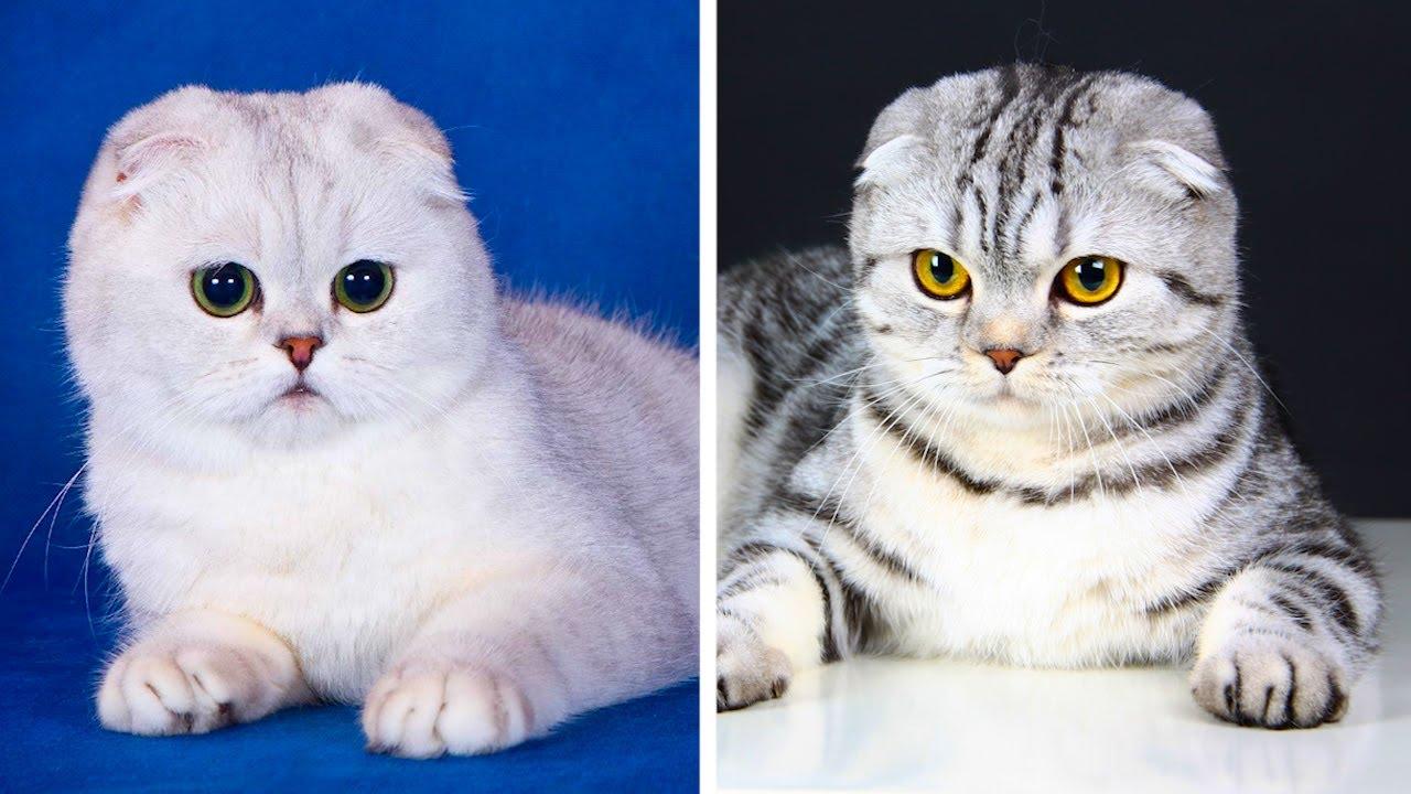 5 Самых популярных пород кошек с необычной внешностью