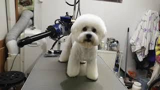 Бишон фризе стрижка, груминг, за 2 часа домашняя стрижка собачки
