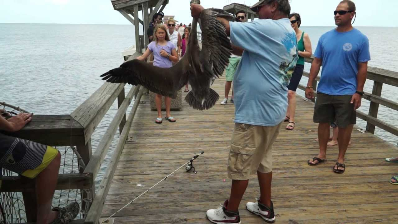 Pelican fish hooked on naples pier then released naples for Buy florida fishing license online