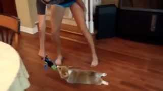 Funny Corgi Puppy Cleans The Hardwood Floor With His Fur
