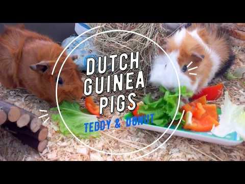 Guinea pig cage tour, intro Dutch guinea pigs
