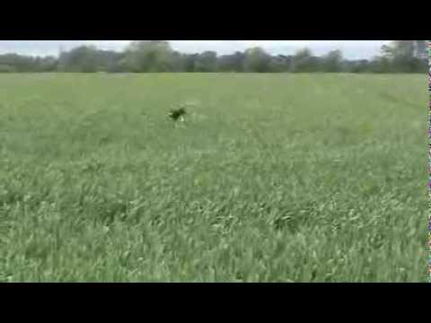 Funny dog, jumping in long corn field....Wait for it