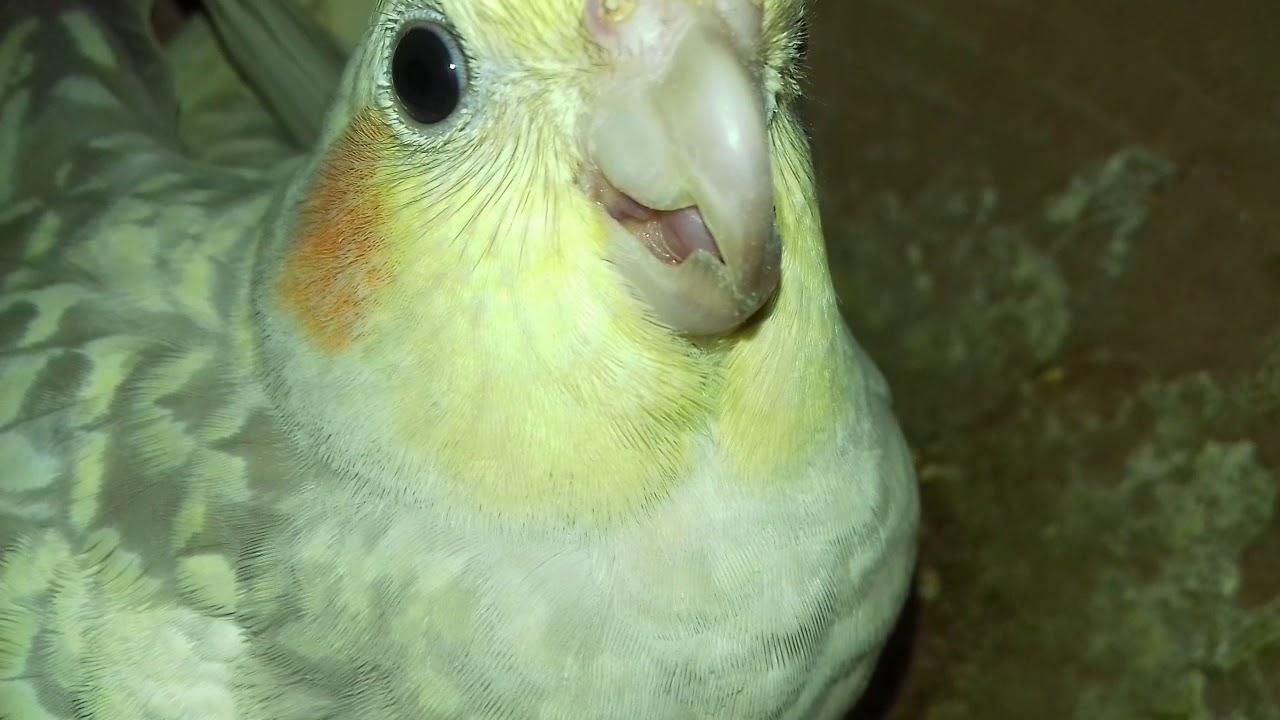 cockatiel-breeding