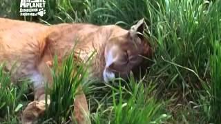 видео Собака Бордоский дог: описание породы, фото, цена щенков, отзывы