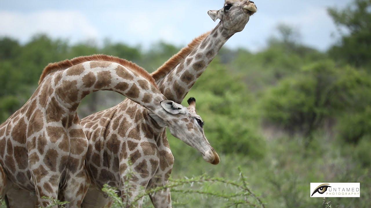 Giraffes of Etosha National Park, Namibia