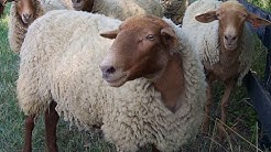 California Red Sheep | Silky Wool Succulent Meat