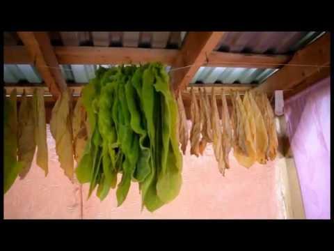 Как определить зрелость листа.Табак созрел.Готовим листья к ферментации.