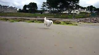 Remy : Samoyed Dog At Nairn Beach Golf View Hotel Near Inverness - Scotland