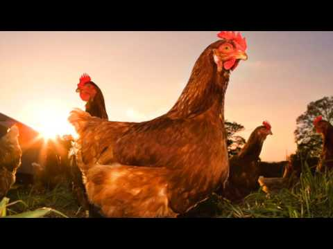 What Sound Does a Chicken Make