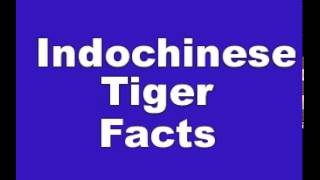 Indochinese Tiger Facts - Facts About Indochinese Tigers
