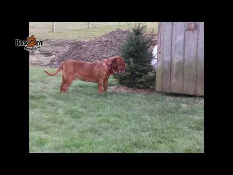 Dogue de Bordeaux French Mastiff Dog