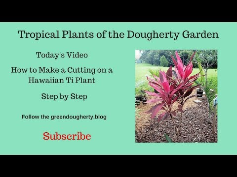 Tropical Plants of the Dougherty Garden - Removing the Leggy Portion - February 19, 2018