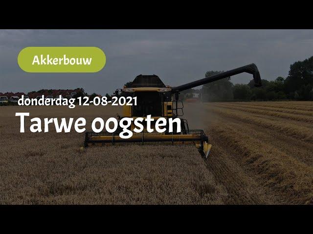Tarwe oogsten (12-08-2021)