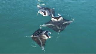 最高のシーンに出会えた!ハワイの海を泳ぐマンタたちのフォークダンス