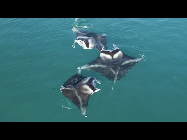 Giant Manta Rays Seen Performing Something INCREDIBLE