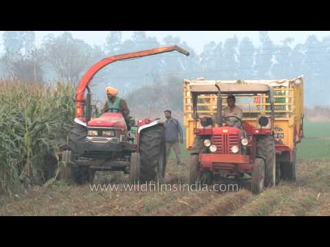 Forage harvester threshing maize plants in a field in Ludhiana