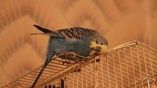Попугай: Чешется о клетку