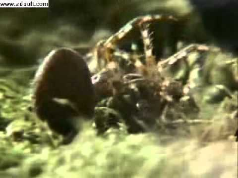 The Wood Spider