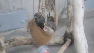 Otters / コツメカワウソ 京急油壺マリンパーク 20121020 Goro@welsh Corgi