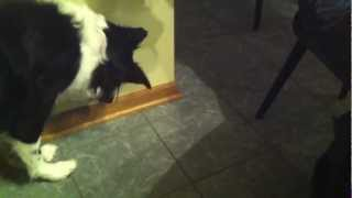 Border Collie Growls at Shadows