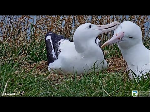 Royal Cam Albatross ~ OGK RETURNS! REUNITED With YRK 💖 Tender Greeting & Mutual Allopreening 1.10.20