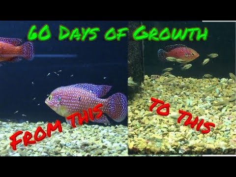 60 Day Growth of Jewel Cichlid Babies