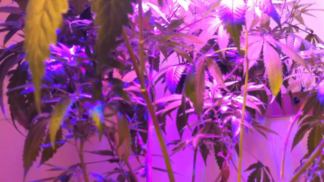 Day 4 - Growing Weed Indoors 2013, 150w LED Grow Light ...