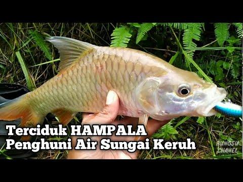 Mancing Tepat Di Gerombolan Ikan - Mancing Ikan Hampala    Sungai Kalimantan