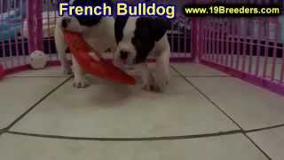 French Bulldog, Puppies, For, Sale, In, Aurora, Illinois, Il, Moline, Belleville, Lombard, Dekalb, G