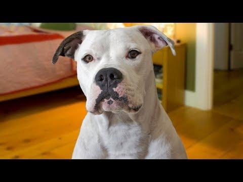 Funny American Bulldog Compilation