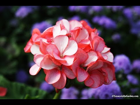 How To Overwinter Geraniums (Pelargoniums): Everyone Can Grow A Garden (2018) #35