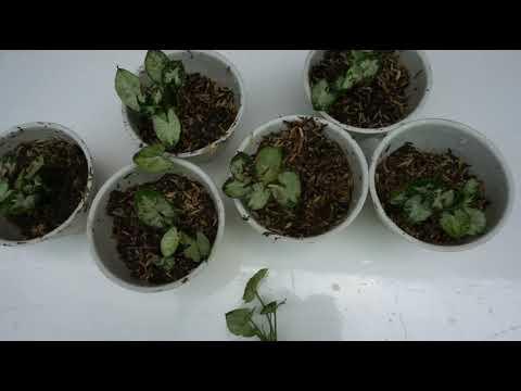 memperbanyak-tanaman-hias