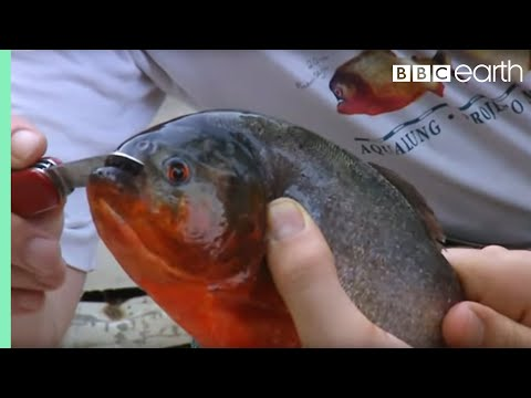 Fishing For Red Bellied Piranha | Ultimate Killers | BBC