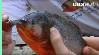 Holding a Red Bellied Piranha | Ultimate Killers | BBC Earth