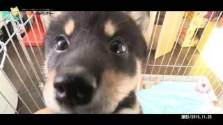 生後83日目の柴犬の赤ちゃん。名前は希々(キキ)、活発な女の子です。...