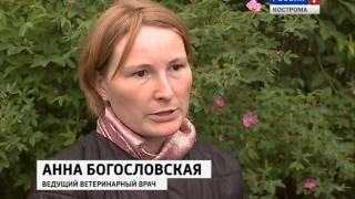 В Костроме идет усиленный отлов безнадзорных собак