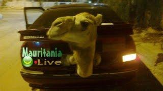 مشهد غريب عجيب - الجمل المسكين في حقيبة السيارة ههه  @ Mauritania Live  Camel In The Trunk Of A Car