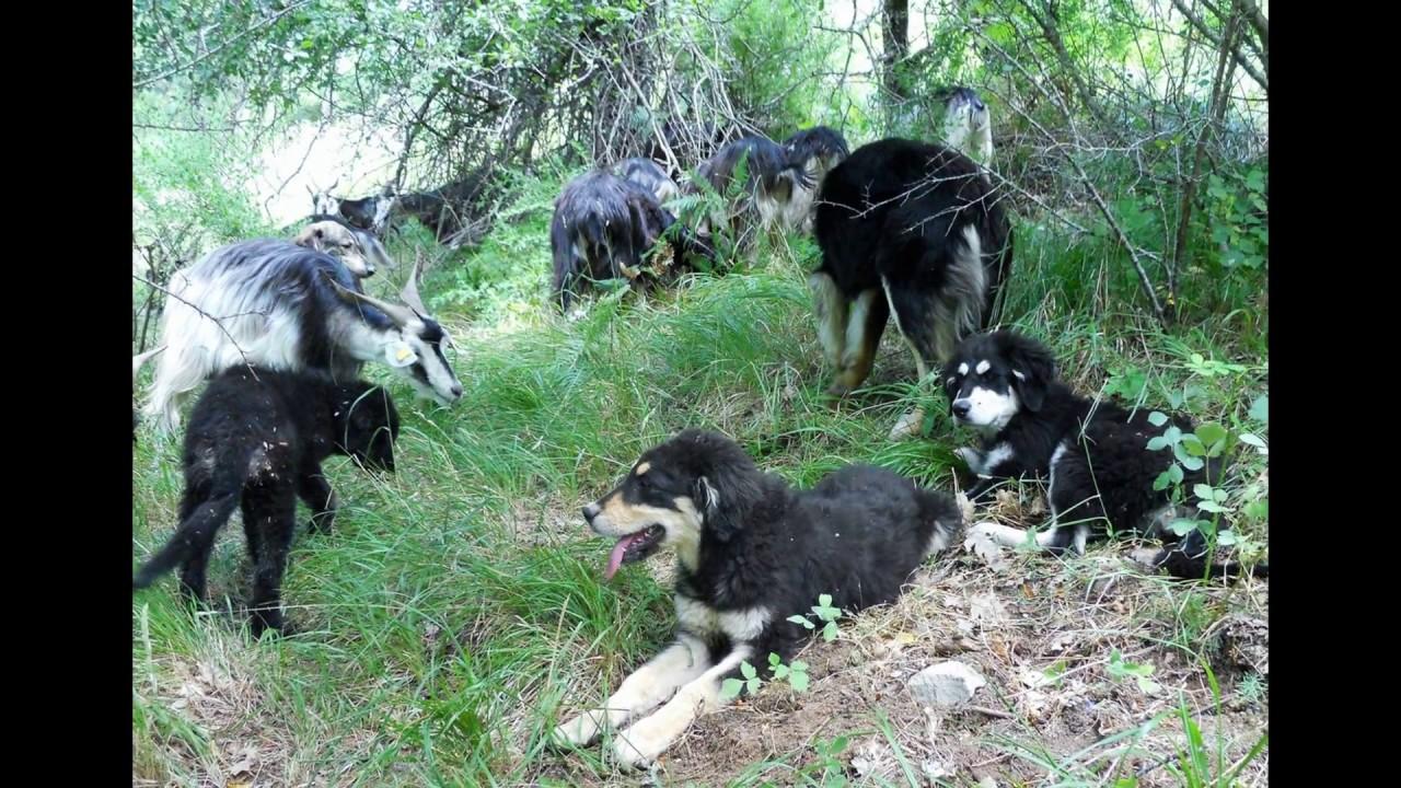 pastore della sila - allevamento di jurevetere - youtube