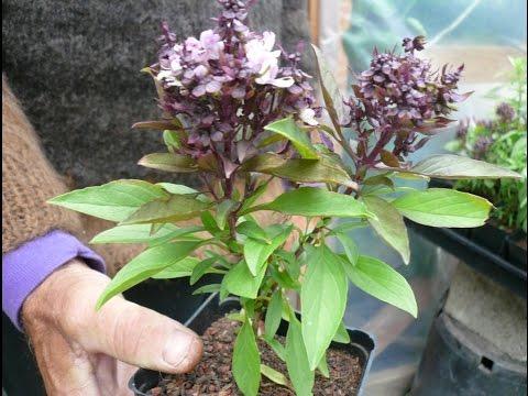 How To Basil Plant Care (Urdu/Hindi)