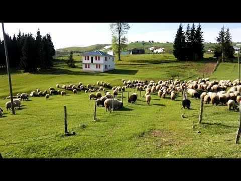 Koyunlar Göç Ediyor. Meee, Meee. 😁 🐑