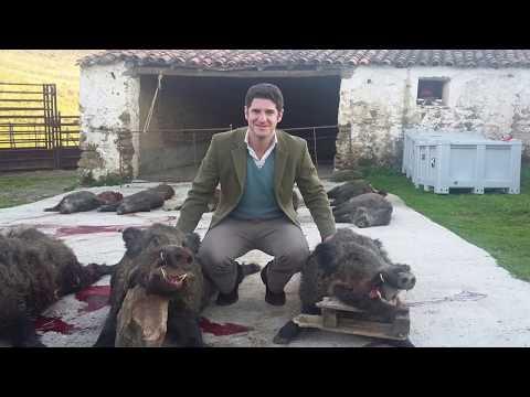 Lances de jabalies grandes!!! Monterías en Extremadura | Videos de Caza
