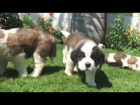 9212 501 257 saint Bernard male and female puppies for sale in Delhi Gurgaon pet shop dog kennel