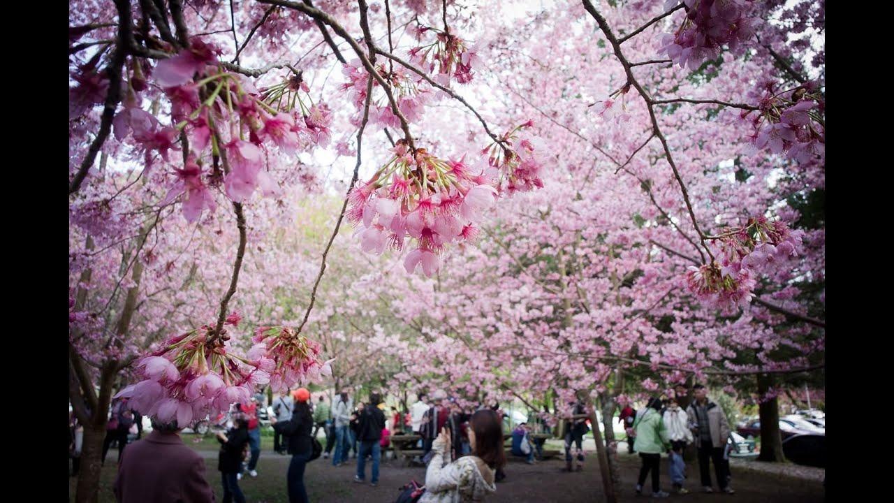 Beautiful Taiwan During Cherry Blossom Season - YouTube