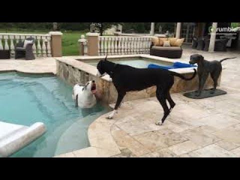 Talkative Great Danes Argue and Play By The Pool