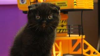 Котята британская короткошерстная черные вислоухие 2 месяца
