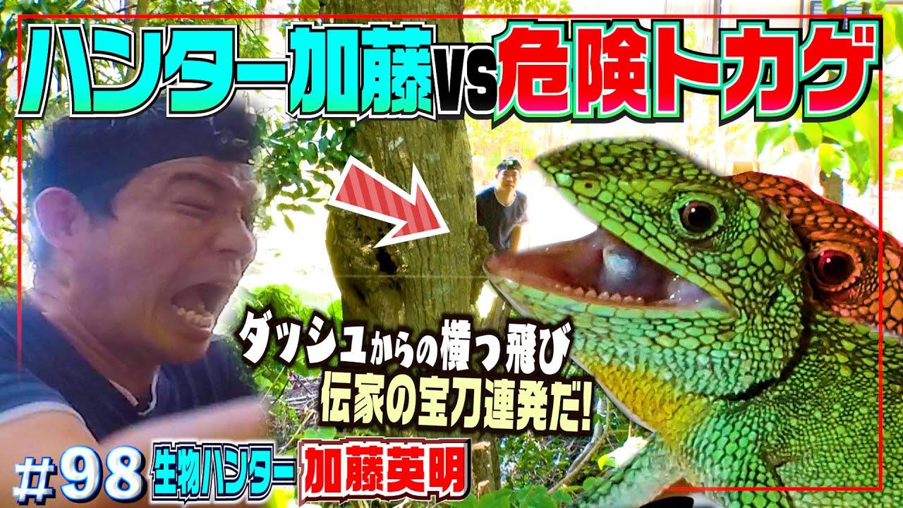 爬虫類を見ると、目の色が変わる男!命知らずの捕獲劇!vs警戒心MAX外来トカゲ≫生物ハンター加藤英明・Japan wild hunter