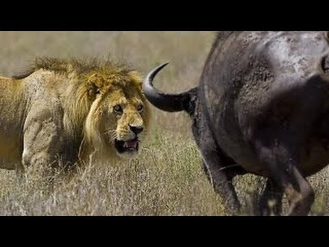 wildlife documentary lion vs buffalo real fight Discovery ch