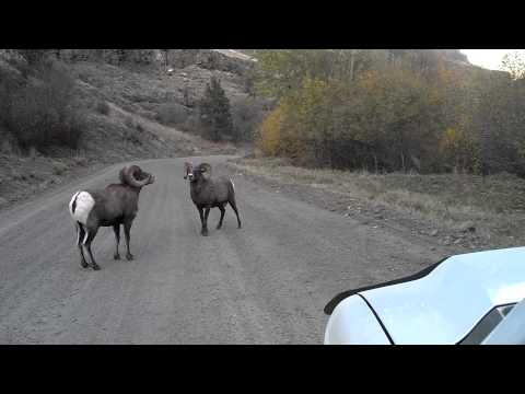 Asotin County Big Horn Sheep