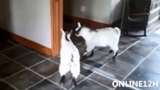 Clip Vui Nhộn, Hài Hước Về Con Dê   Funny Goat